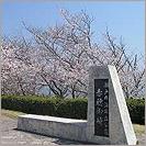 赤穂御崎公園の桜