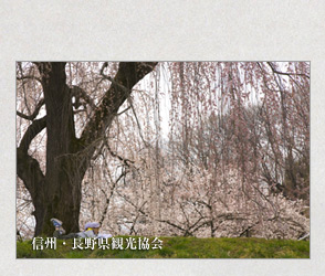 樹齢3百余年の枝垂桜光林寺