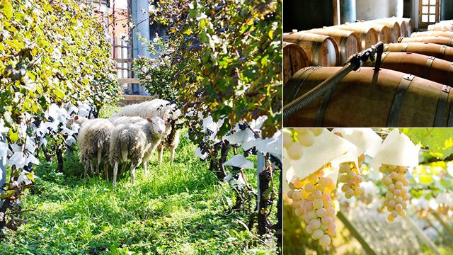 羊のワイナリーでおなじみ日本最古のワイナリーを訪れる